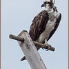 Alert Osprey on a perch.