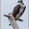 Alert Osprey on a perch.
