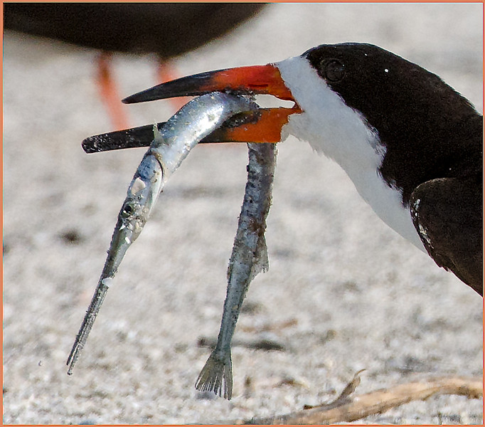 Black Skimmer with needlefish.