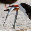 Black Skimmer with needlefish.