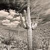 Saguaro cactus with infrared effect - Saguaro National Park - Tucson, Arizona.