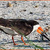 Black Skimmer feeding chicks.