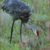 Sandhill Crane with chick.