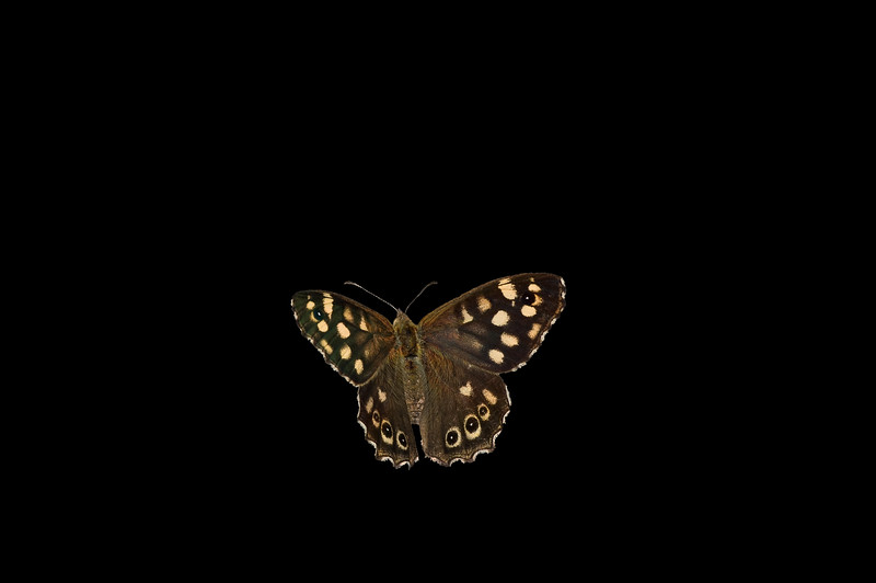 Speckled wood on black