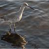 Willet in winter plumage