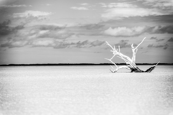 Lone Tree - Harbour Island, Bahamas - Low Tide - Black and White