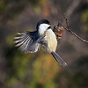 Black-Capped Chickadee Working for a Meal