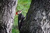 Piliated Woodpecker