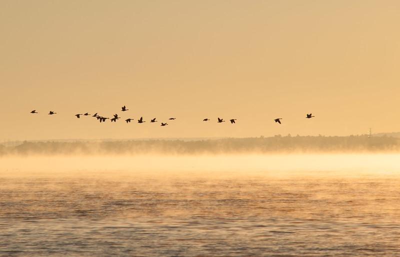 Ottawa River Geese