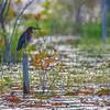 Green Heron in Bon Secour National Wildlife Preserve