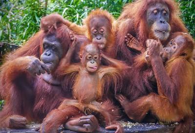 Happy Orangutans