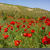 Poppies at Chuli Canyon