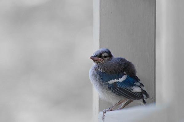 Young Blue Jay - Kansas City, Missouri - May 2012