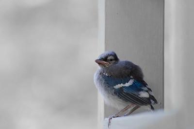 Fledged Blue Jay
