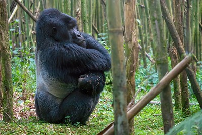 a large male silverback mountain race gorilla in Rwanda, sitting on the ground in a bamboo forest, with his markings visible on his back.