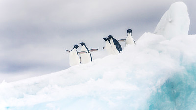 Adelie penguins on an Antarctic iceberg.