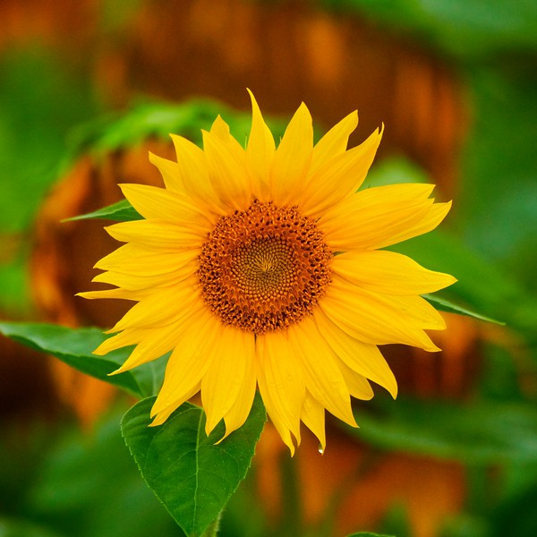 Pure Sunshine #1
