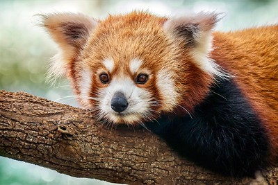 Red panda -- more closely related to the raccoon than to the giant panda.