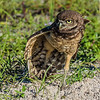 Burrowing Owl with wing spread