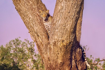 Beautiful leopard looking down from a tree.