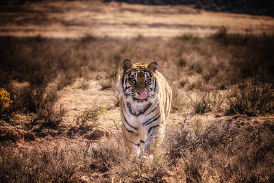 Male tiger walking head-on toward the camera in natural environment.