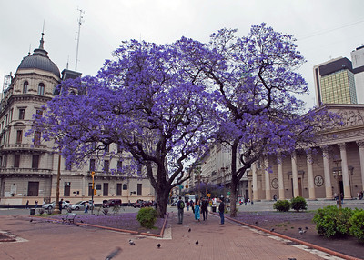 Jacaranda Trees in Plaza del Mayo