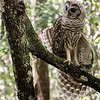 Barred Owl with feather skirt