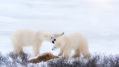 Two polar bears in northern Canada appearing to be fighting, but actually playfully sparring together in the snow.