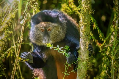 A wild Golden Monkey living in a bamboo forest in Rwanda.