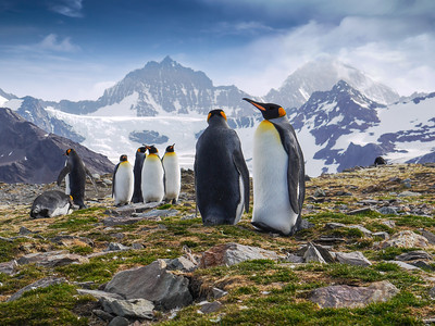 King Penguins Standing against Mountains on South Georgia Island, South Atlantic Ocean
