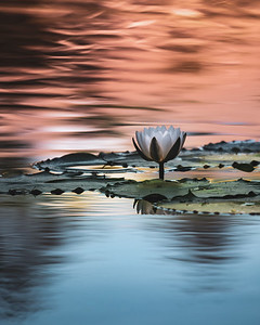 Water Lily At Twilight No.2 Portrait