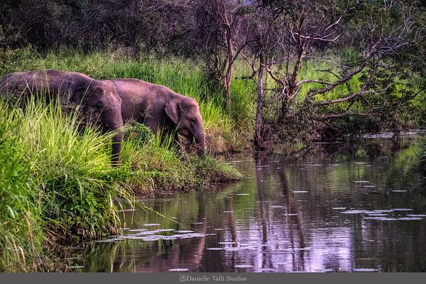 Elephants Water at Minneriya National Park
