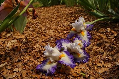 Exline Iris Gardens, near Berkely Springs, WV