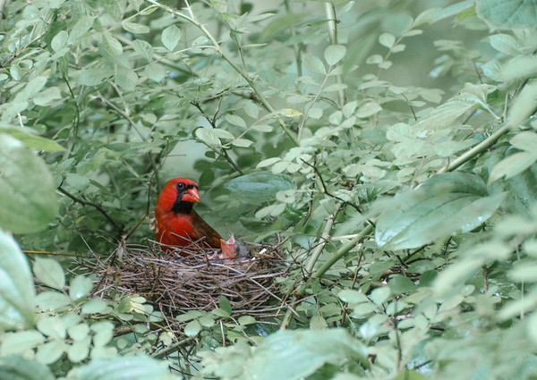 Northern Cardinal on Nest