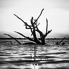 Lone Tree - Harbour Island, Bahamas - High Tide - Black and White