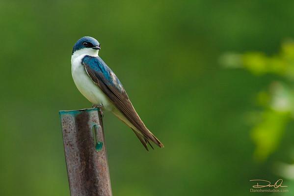 Tree Swallow