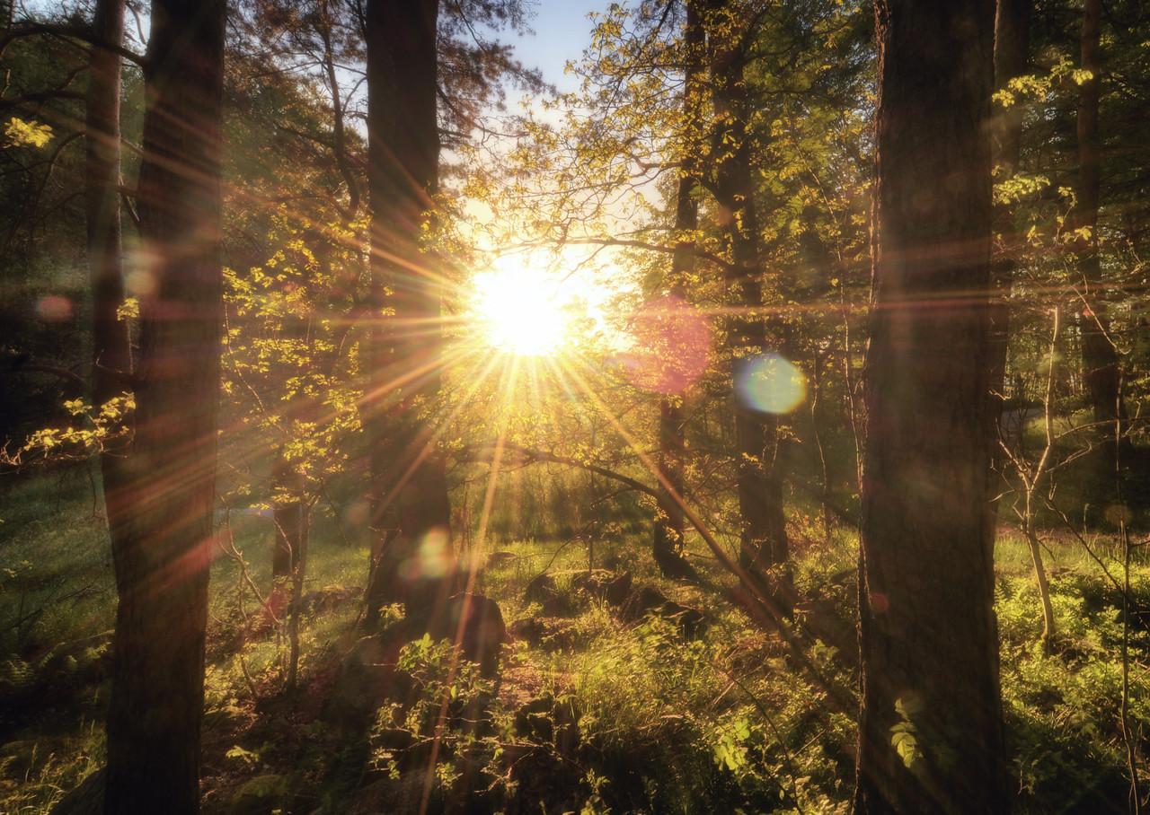 Sun Burst Forest