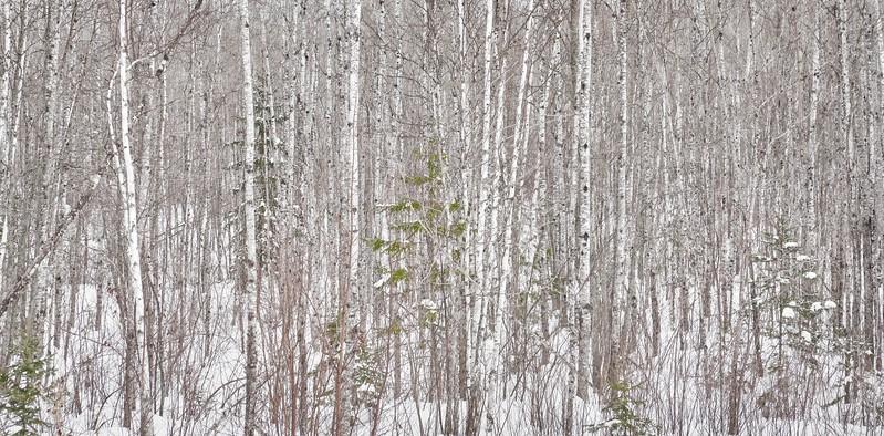 Birch Stand