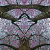 Mystery Flowering In The Trees   : Symmetry Series #40