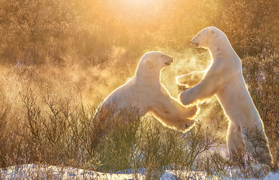 High Five! Two male polar bears playfully sparring, raising a spray of snowflakes, backlit in golden morning light.
