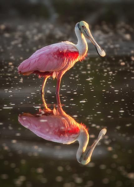 Roseate Spoonbill, Ecopond, Everglades NP