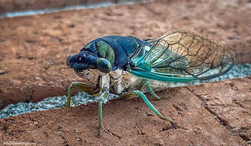 Alabama Cicada