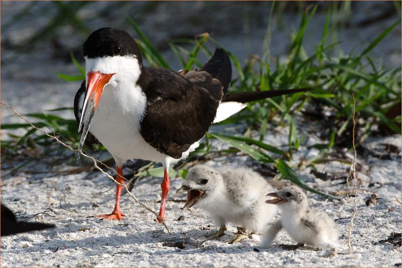 Black Skimmer with chicks.