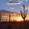 Saguaro cactus at sunset - Saguaro National Park - Tucson, Arizona.