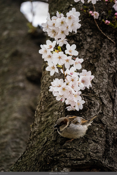 Sparrow and Cherry Blossoms