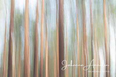 Shaking pine trees
