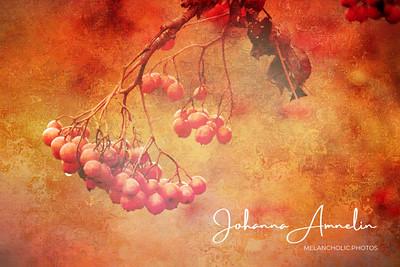 Fiery Autumn: Rowan berries