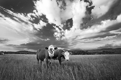 Two Cows in Field