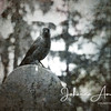 Jackdaw sitting on a tomb stone, picture taken in Rusko cemetery Finland