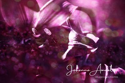 Lily pink dreams